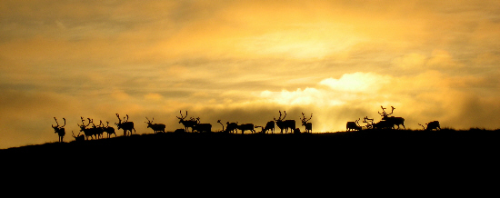 A herd of reindeer on the horizon under the midnight sun in Lapland
